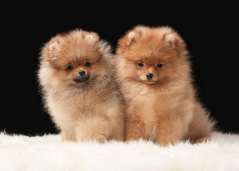 Two Pomeranian puppies on black background