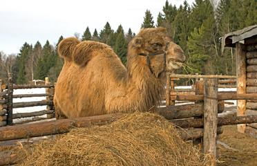 Camel.