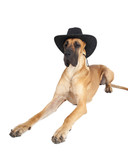 German fawn doggi in studio on a white background with a hat