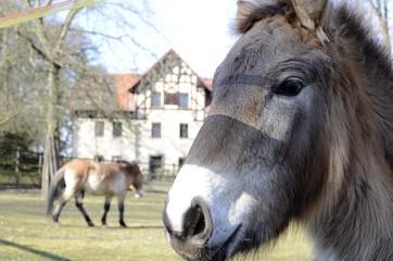 Horses Prevalski