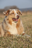 Gorgeous Australian Shepherd Dog in nature