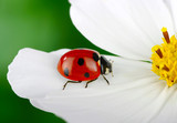 Ladybug and flower