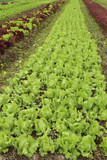 พows of fresh lettuce plants