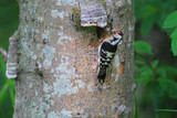 Lesser Spotted Woodpecker (Dendrocopos minor) nesting in Japan