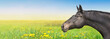 Black Horse on summer background with dandelion, banner - 62134681