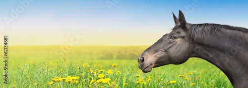 Black Horse on summer background with dandelion, banner