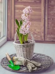 Pink hyacinth in a basket on the window and garden tools. Toning