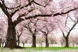 Blühende Kirschbäume in verträumter Schönheit