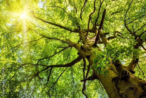 Fotobehang Bomen Sonne leuchtet durch alte Buche