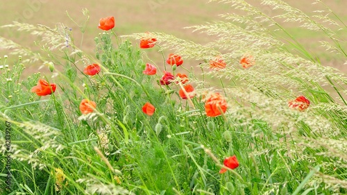 Field of red wild poppies on a sunny day. Natural background