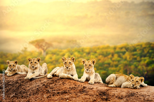 Canvas Afrika Lion cubs waiting together.
