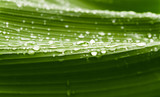 Rain drops  on banana tree  leafs.