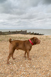 Shar-pei on a beach