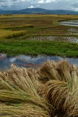 Rice crop
