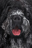 Muzzle large shaggy black terrier
