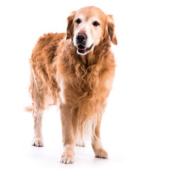Golden retriever dog posing in studio