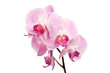 Beautiful pink orchid flowers isolated on white