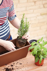 Hands transplanting rosemary to pot