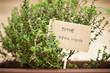 Thyme plant on urban garden