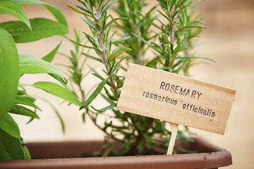 Rosemary plant on urban garden
