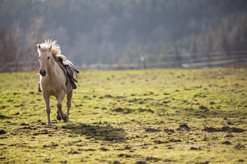 Beautiful, saddled horse galloping towards you