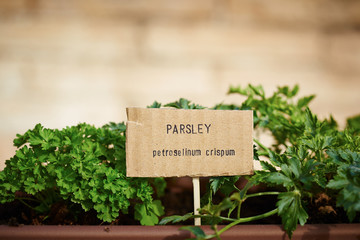 Parsley plant on urban garden