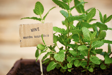 Mint plant on urban garden
