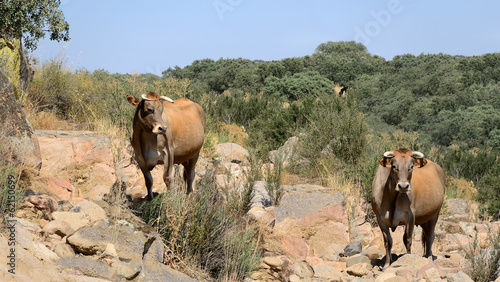 two cows (panoramic view)