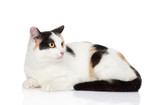 mixed breed tricolor cat looking away. isolated on white
