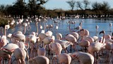 Flamand Rose de Camargue