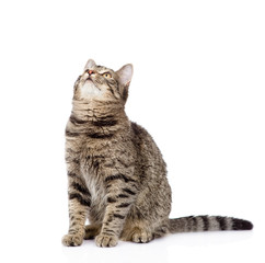 tabby cat looking up. isolated on white background