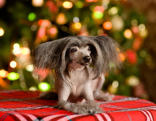 Chinese crested dog puppy lying in front