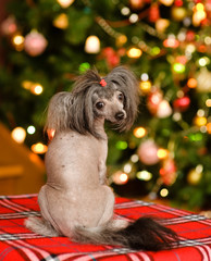 Chinese crested puppy dog looking back