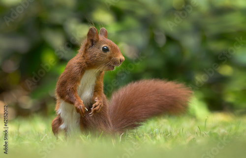 Foto op Aluminium Eekhoorn Red Squirrel