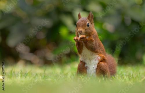 Tuinposter Eekhoorn Red Squirrel