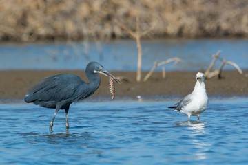 Western Reef Heron has captured a large shrimp