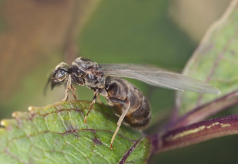 Winged Lasius ant on leaf, macro photo