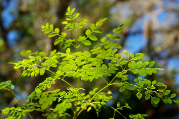 young moringa tree leaves