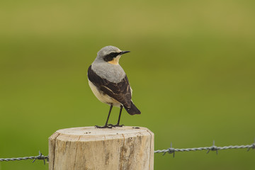 Northern Wheatear or Wheatear (Oenanthe oenanthe)