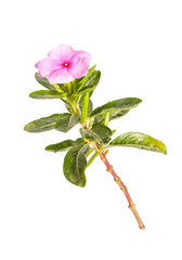 Madagascar periwinkle flower