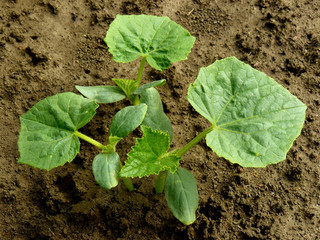 small cucumber plants
