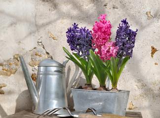 jacinthes dans pot en métal