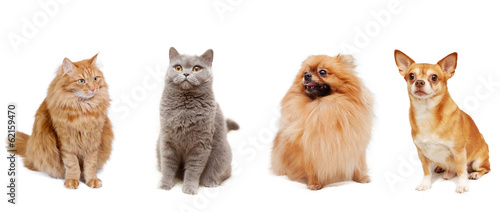 Pomeranian, Chihuahua, british cat and a fluffy red cat isolated