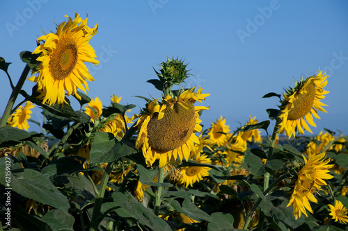 Blossom sunflower field