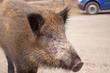 wild boar through a roadside at natural habitat
