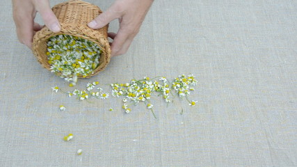 fresh  medical herbs chamomile blossoms harvest