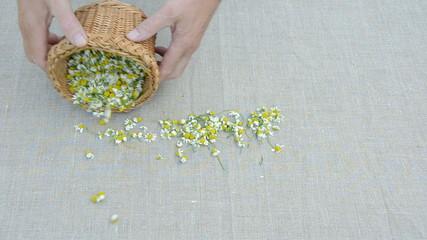 fresh  medical herbs chamomile blossoms harvest