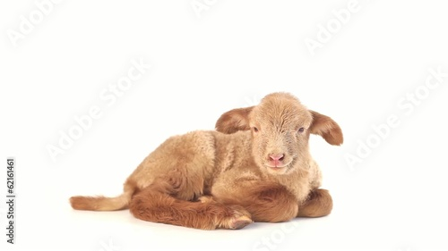 Lamb isolated on white background