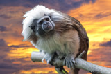 Emperor Tamarin monkey on the sunset background