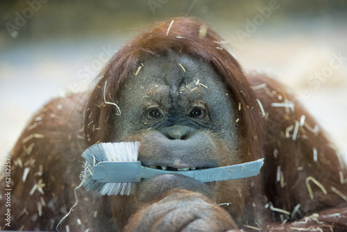 orang utan monkey close up portrait